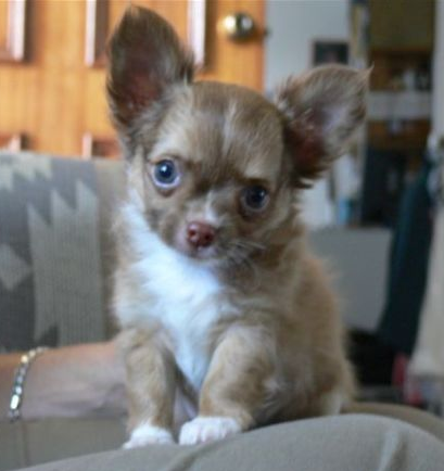 Wachowa Chihuahua S Smooth And Long Coat Chihuahua Breeder