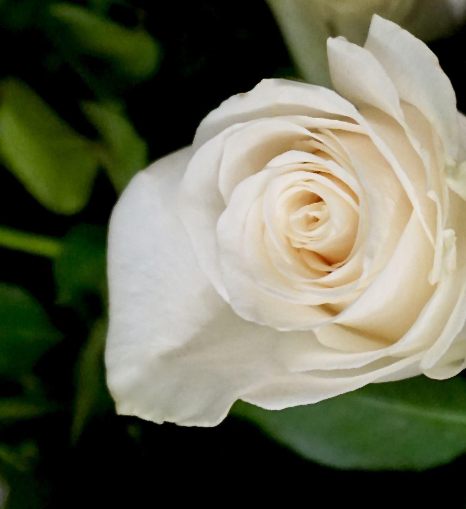 3 Foot Single White Rose Rose Holiday Flower Blue Roses