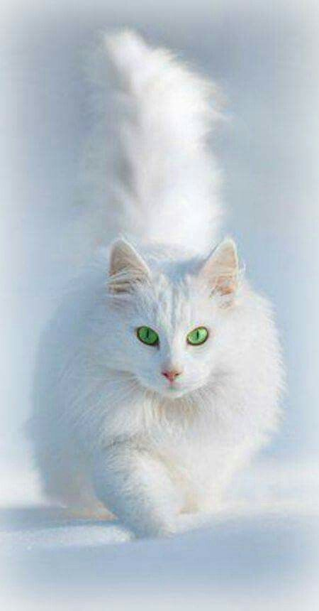White Cat Green Eyes Angora Cats Beautiful Cats Pretty Cats