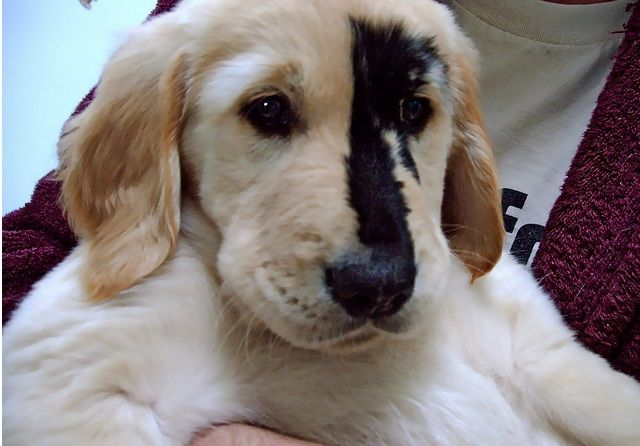 The Black Spot Phenomenon Attacks Golden Retriever Dogs Dog Cat