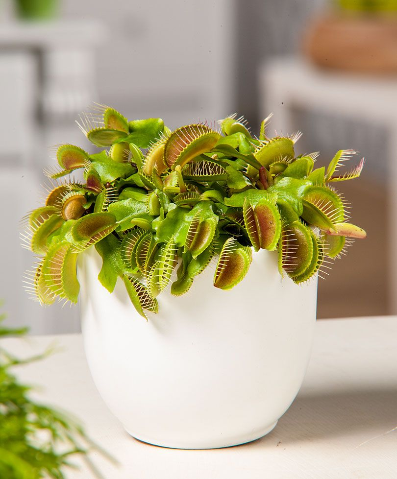 attrape mouches plante carnivore plantes bakker france en pot fleurs plantes. Black Bedroom Furniture Sets. Home Design Ideas