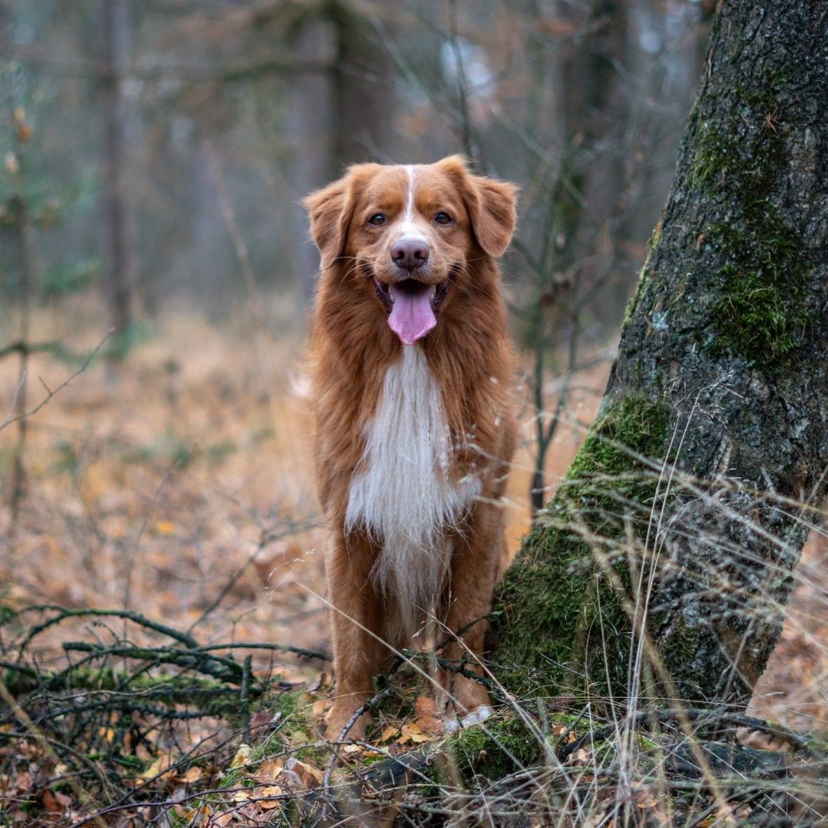 Handsome Toller Loki In The Forest Nova Scotia Duck Tolling