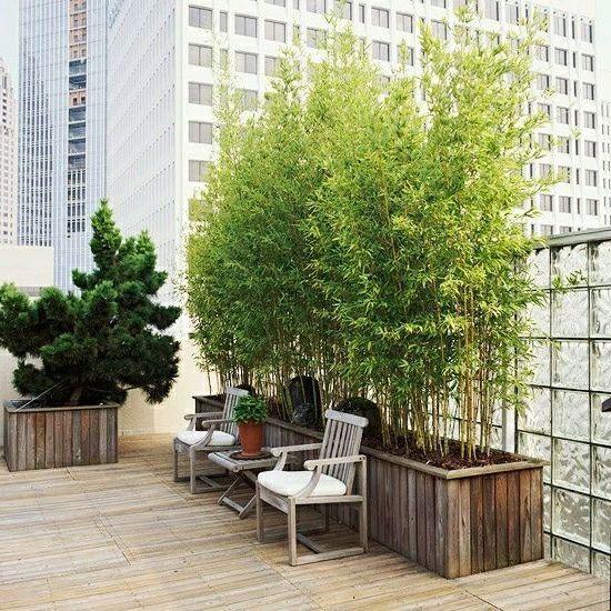 bambusy balkonove Hledat Googlem Bambus im kübel