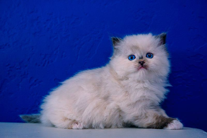 Simply Adorable Ragdoll Cat Gallery Ideas Ragdollkittens Rag Doll Cat Kittens Ragdoll Kittens For Sale In 2020 Ragdoll Kitten Kitten For Sale Ragdoll Kittens For Sale