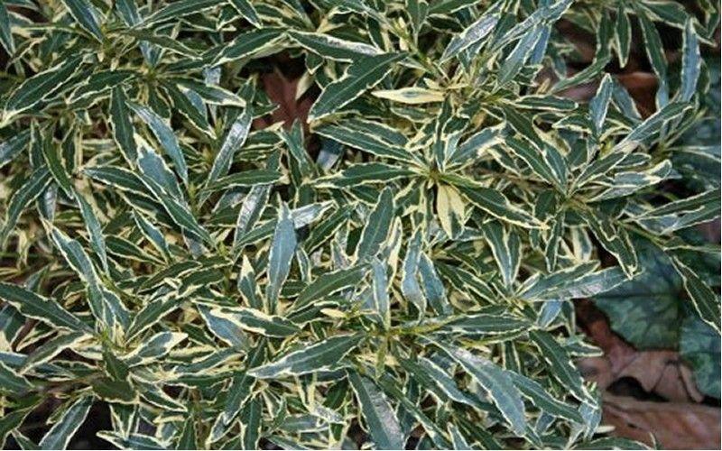 Variegated Creeping Gardenia Gardenia Jasminoides Variegata