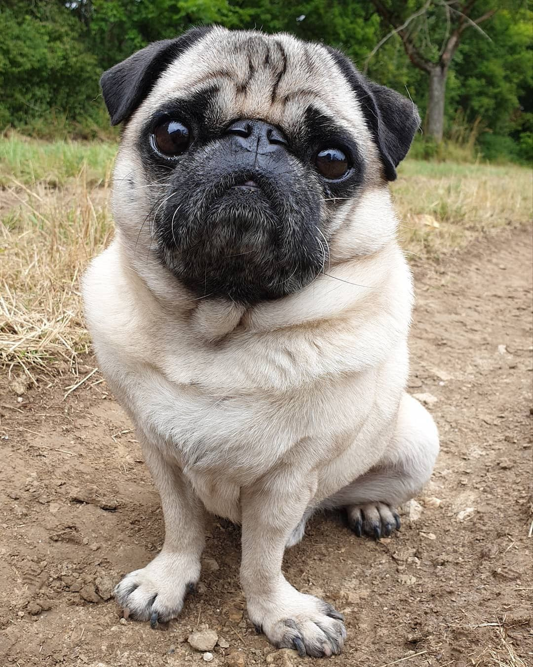 Pin By Zoltan Baracsi On Mopszok Cute Dogs Cute Dog Pictures Pugs