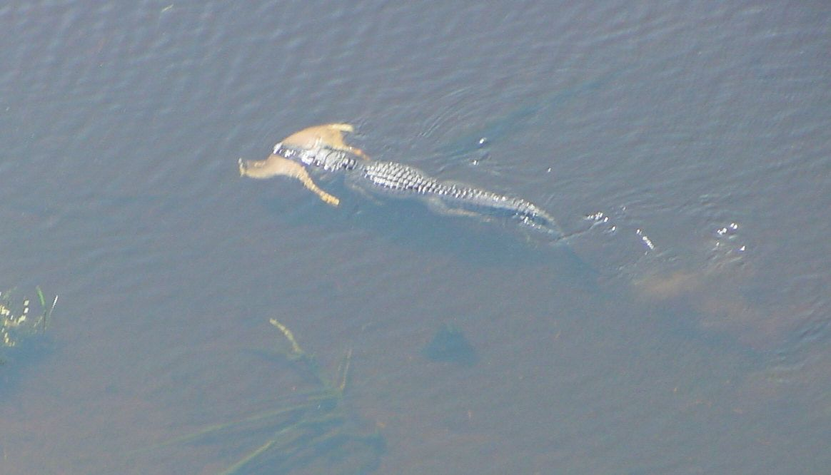 Alligator Swimming With Deer In His Mouth