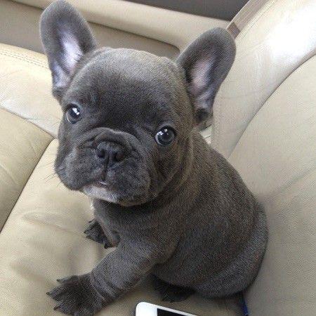 Blue French Bulldog Wanted French Bulldog Puppies Bulldog