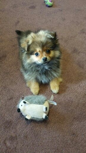 Wicket Pekingnese Pomeranian Peekapom Animals Mixed Breed Doggy