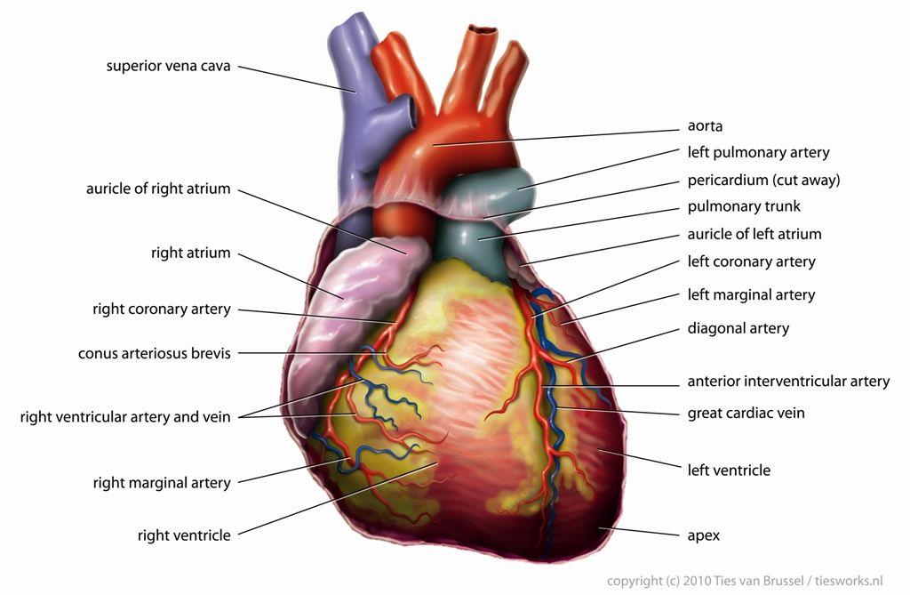 Treating Someone Having a Heart Attack | Heart attack, Heart anatomy ...