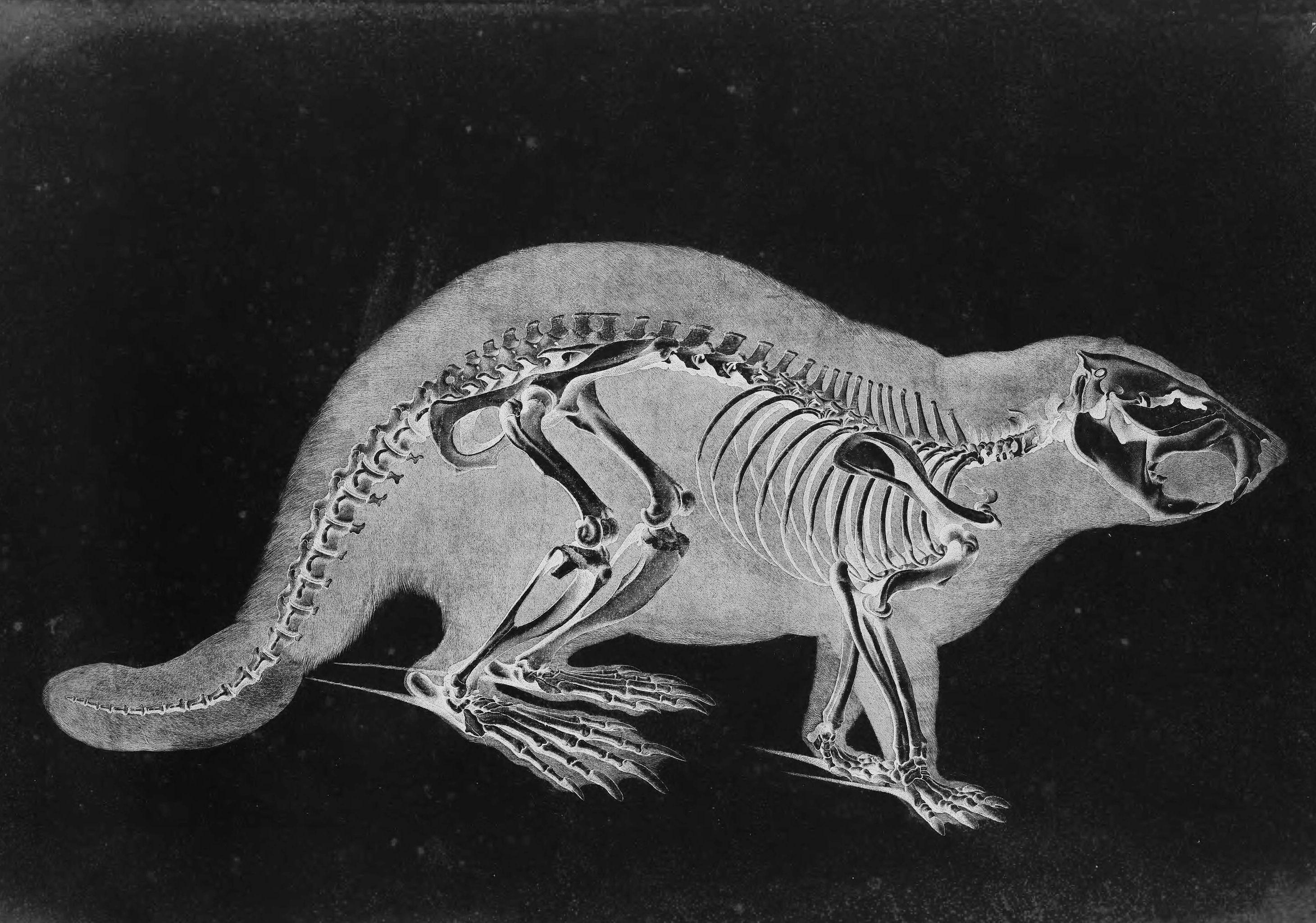 Image result for beaver skeleton | Artstation Challange: Beneath the ...