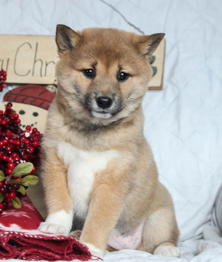 These Shibainu Puppies Would Love To Be Under Your Tree This Christmaseve For Your Bff They Are Also Sure To Enj Shiba Inu Puppy Puppies Shiba Inu