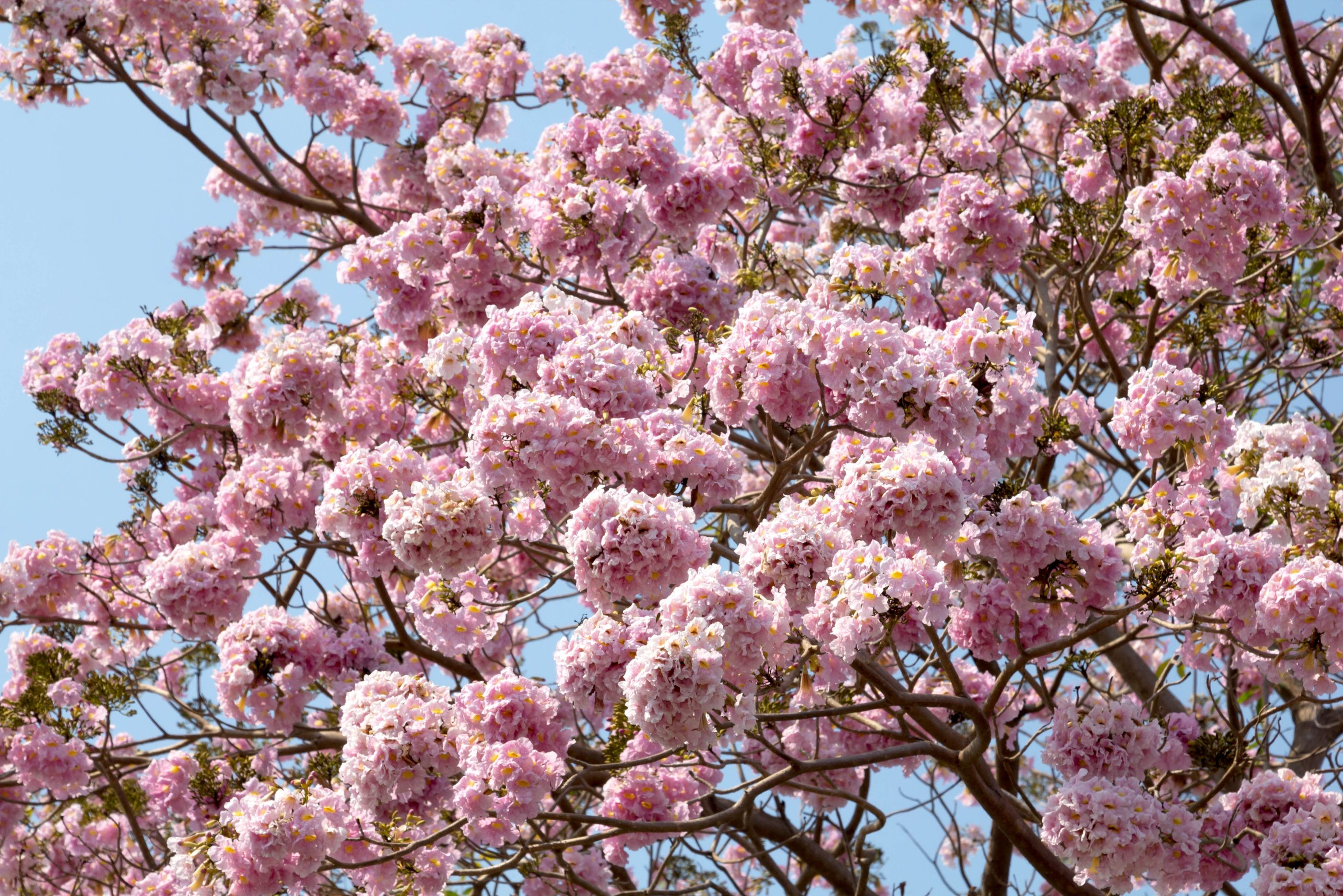 Tabeaubia In Bangalore Cherry Blossom In Japan And In Washington Dc They Light Up Your Drive With Their Sudden Bur Cherry Blossom Japan Cherry Blossom Plants