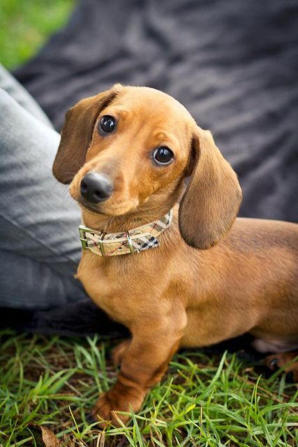 Puppy Dog Eyes Dachshund Puppies Puppy Dog Eyes Dachshund Dog