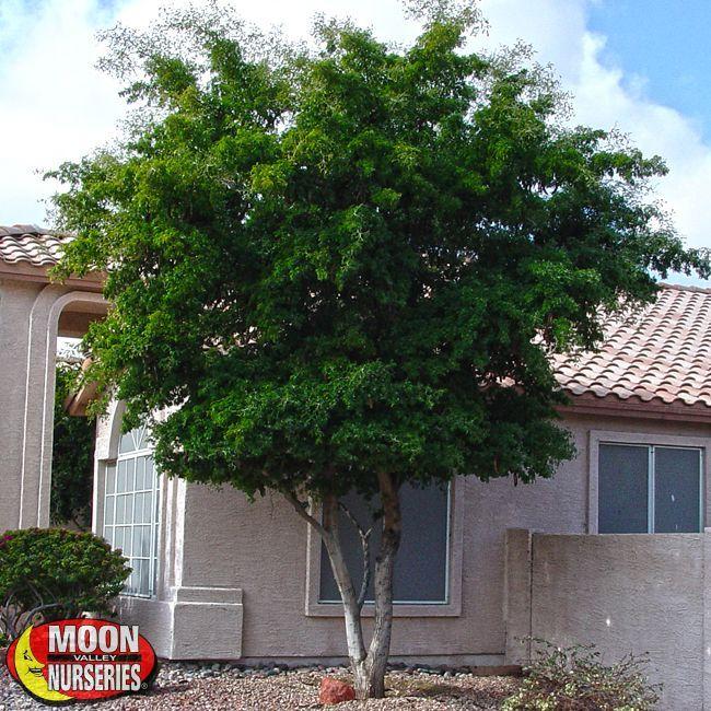 tree ebony Grow black