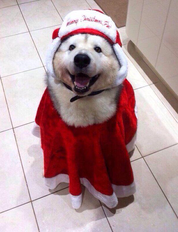 deguisement noel chien insolite chien deguisement noel | 03.Drôles | Pinterest | Santa  deguisement noel chien
