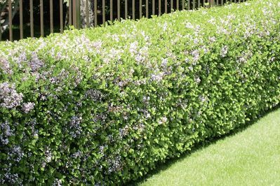 Image result for dwarf lilac hedge | Lilac hedge ...