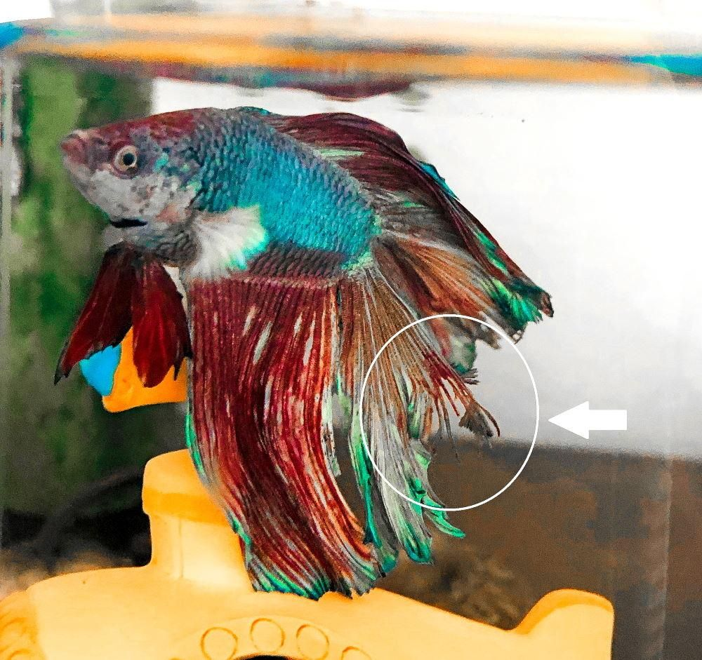 5 Quick And Easy Steps For Treating Fin Rot Betta Fish Fish Pet Fish Fin