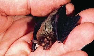 خفاش النحلة الطنانة هذا الطائر صغير الحجم حيث يبلغ طوله إنش واحد فقط ويعيش في كهوف أحجار الكلس Bumblebee Bat Small Pets Miniature Animals