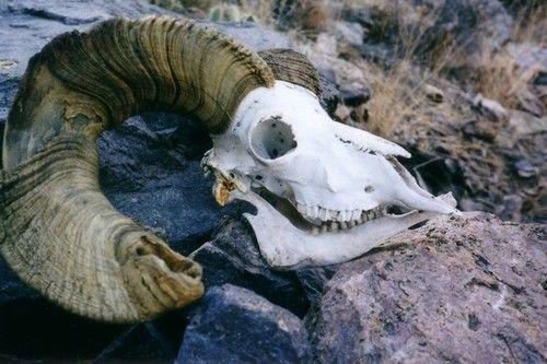 Bighorn Sheep skull found on... | Sheep skull, Sheep ...