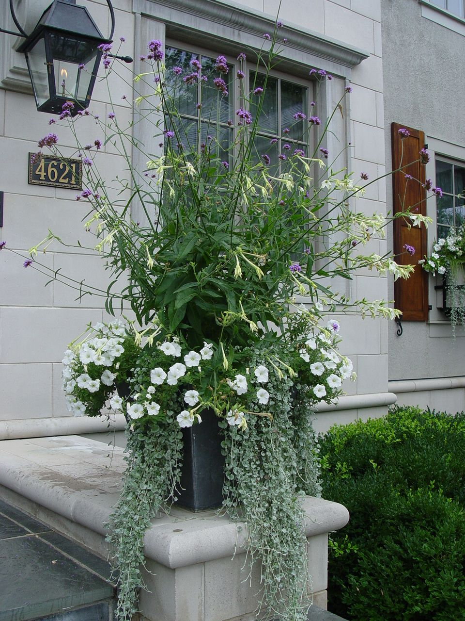 White nicotiana verbena bonariensis white petunias and dichondra gardening with white - Growing petunias pots balconies porches ...