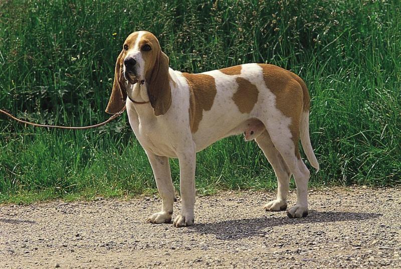 Schwyzer Laufhund Vdh Rasselexikon Hunde Hund Und Katze Welpen