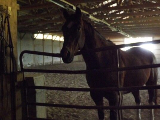 This is Dillon. He is a paint thoroughbred visiting at Hinton Arabian in Fisher,IL