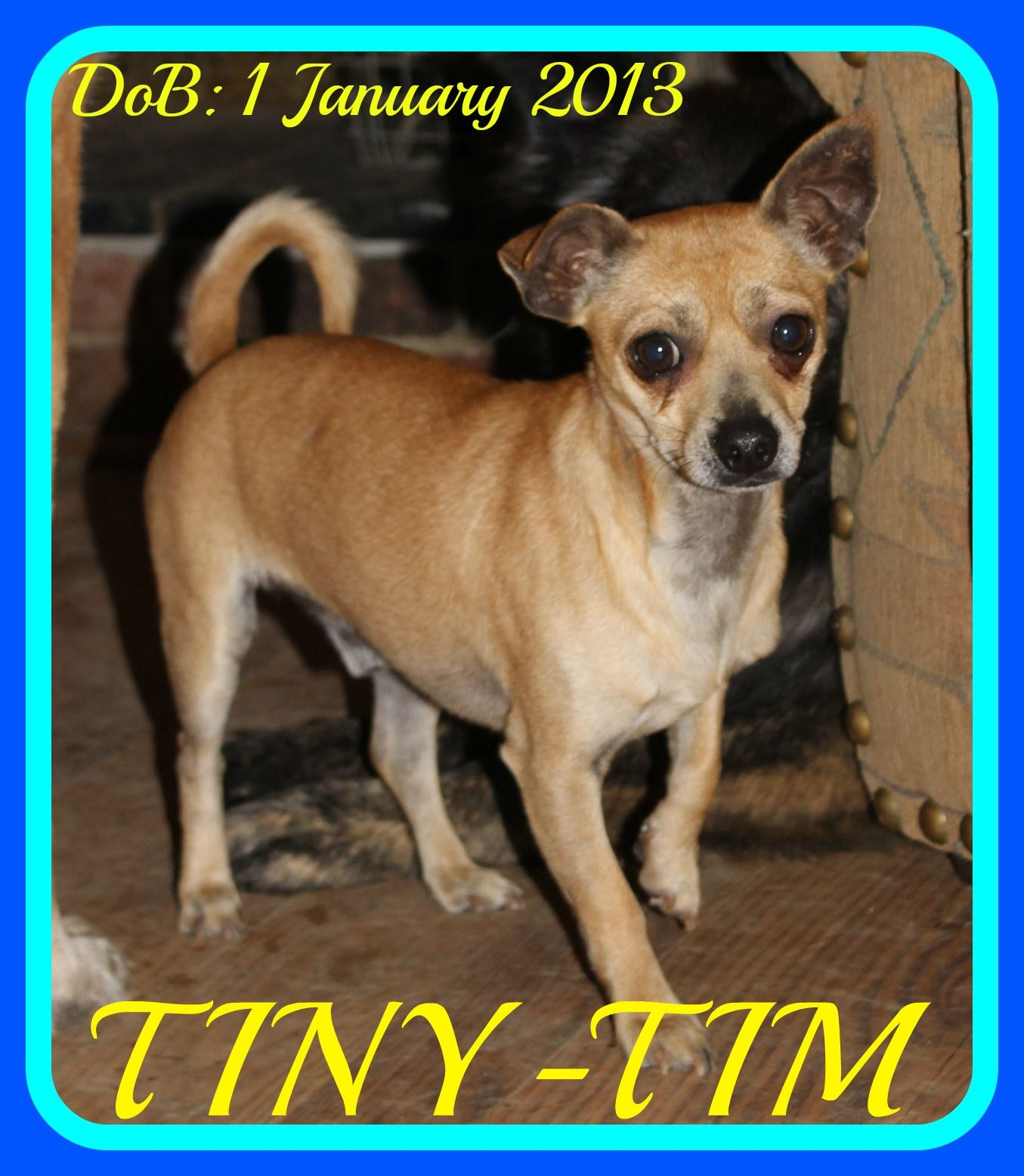 Chihuahua dog for Adoption in Sebec, ME. ADN500763 on