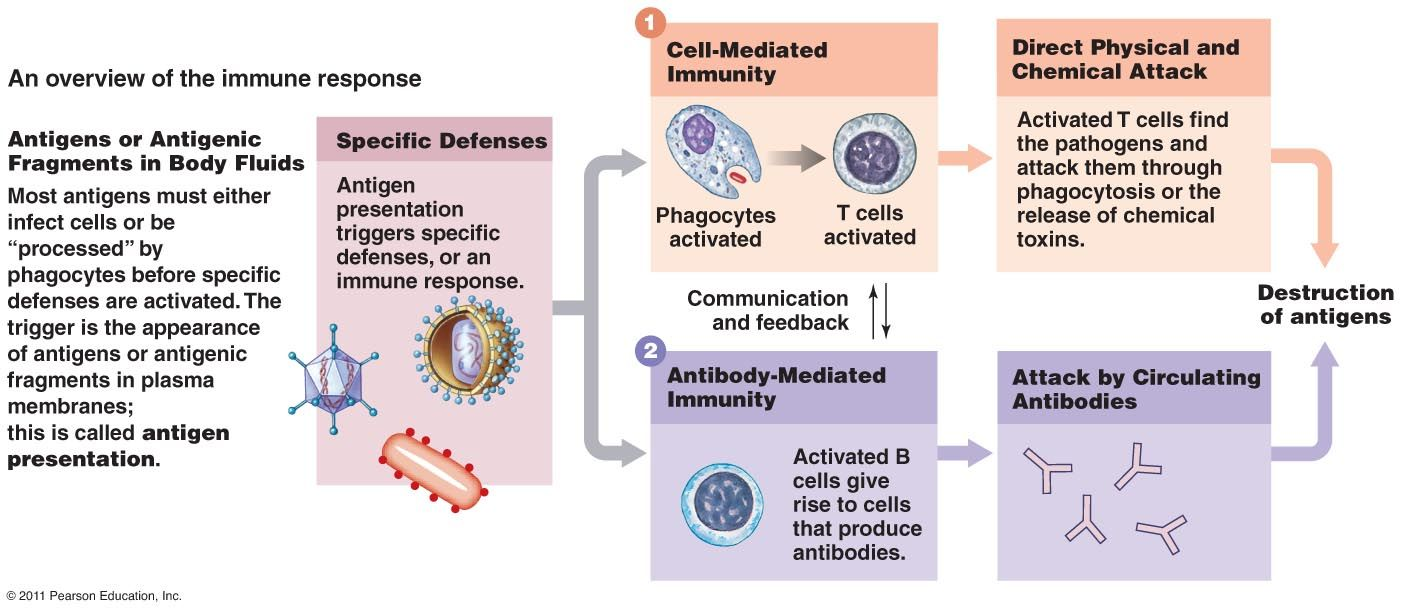 overview of the immune response, cell-mediated and antibody-mediated ...