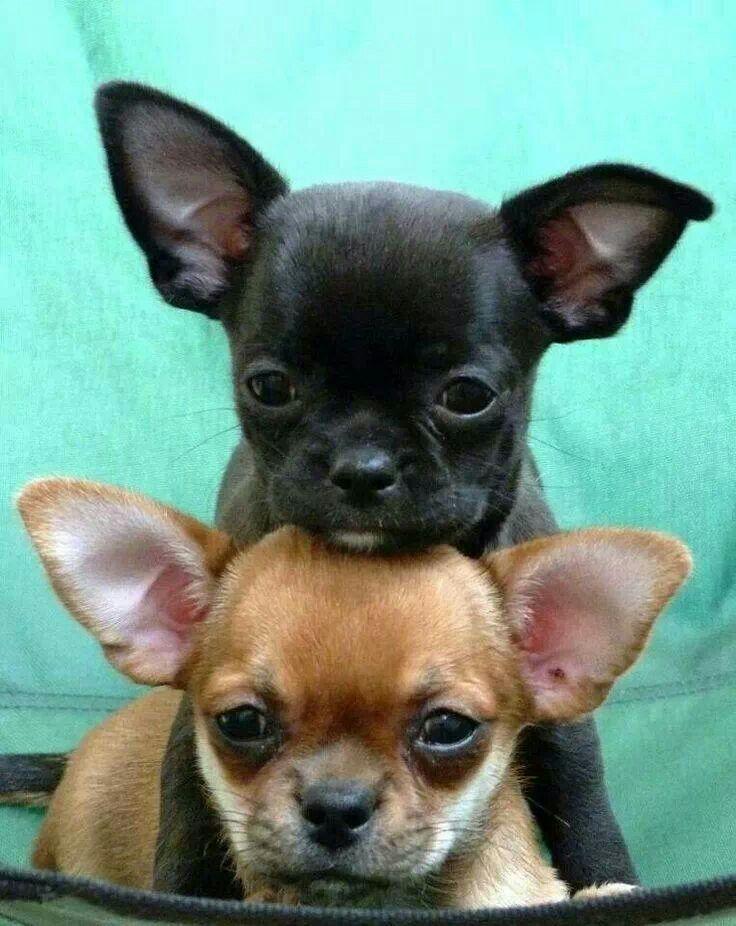 What cuties Cute chihuahua, Chihuahua puppies, Baby animals
