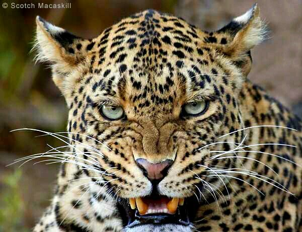 8k Animal Wallpaper Download: A Close-up Of A Male Leopard (Panthera Pardus) Snarling
