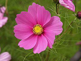 Cosmos bipinnatus, Beijo-de-moça, Cosméa, Cosmo, Cosmos-de-jardim, Picão-rosa