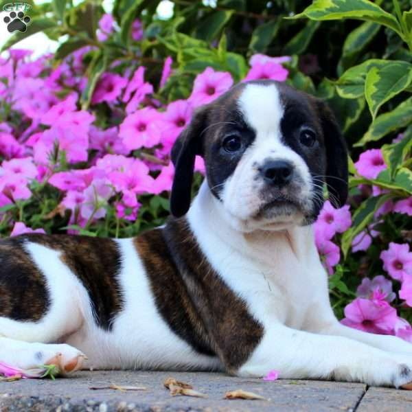 Kylie Jack Russell Mix Puppy For Sale In Pennsylvania Puppies Boston Terrier Terrier Mix