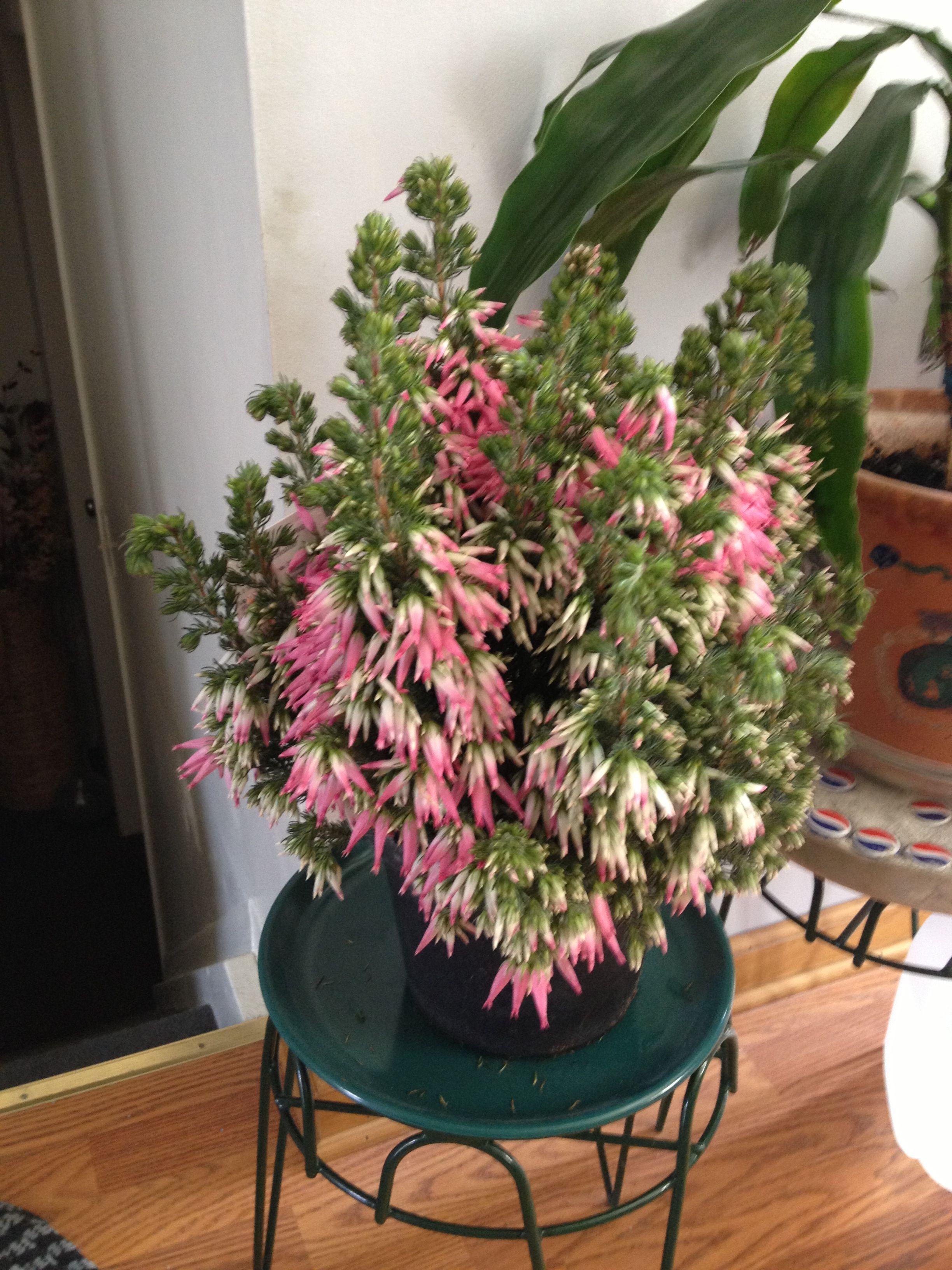 Italian Heather What A Wonderful Gift Perennial Garden House Plants Perennials