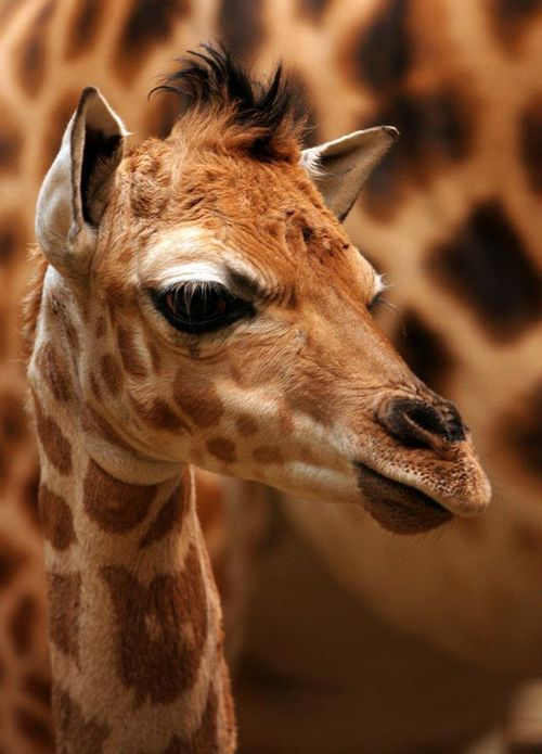 ^Baby giraffe.