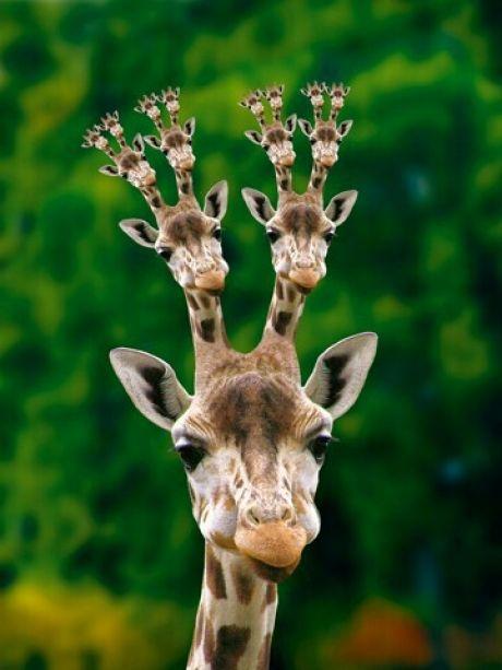 Mandelbrot giraffe