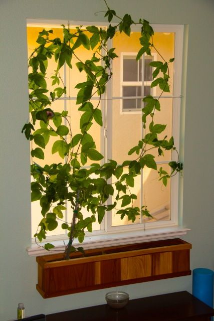 Acer Studio Com Indoor Vines Trellis Plants Window Box Flowers