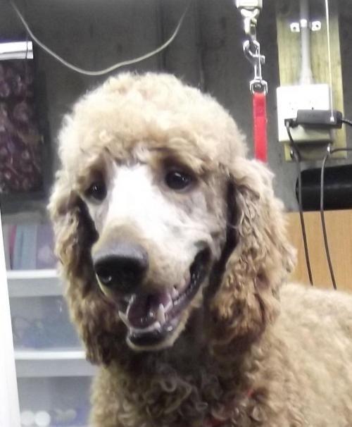 Adopt Benjamin Benji Adopted On Dogs Adoption Poodle