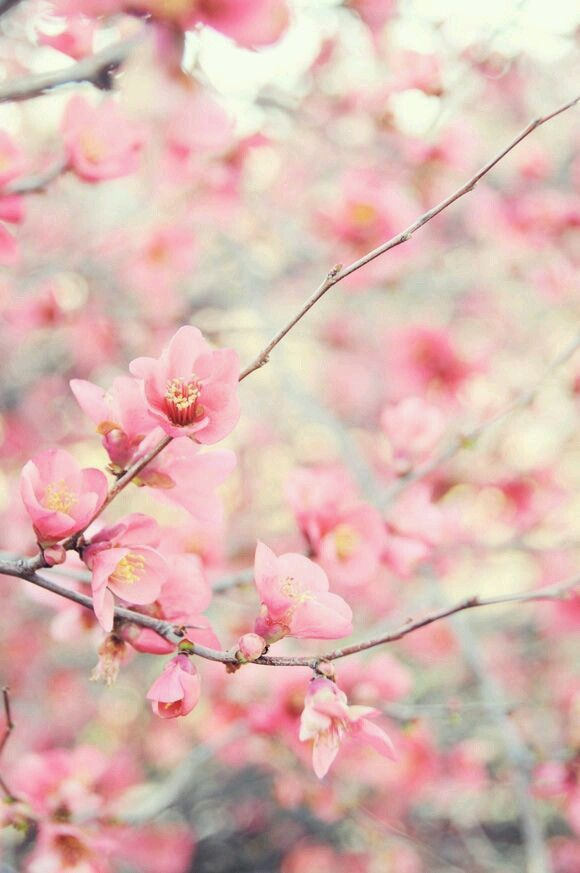 Pin By Wendy Walinski On Cherry Blossoms Pretty Flowers Beautiful Flowers Love Flowers