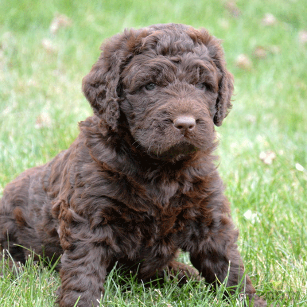 Chocolate Newfypoo Puppies for sale, Puppies, Doodles