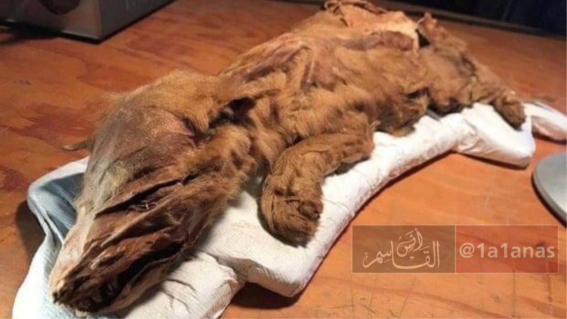 في مقاطعة يوكون الكندية عثر عمال مناجم الذهب على جسد هذا الذئب الصغير يعود إلى العصر الجليدي قبل 50000 عام ح فظ في حالة شبه مثال Wolf Pup Ice Age Yukon Wolf