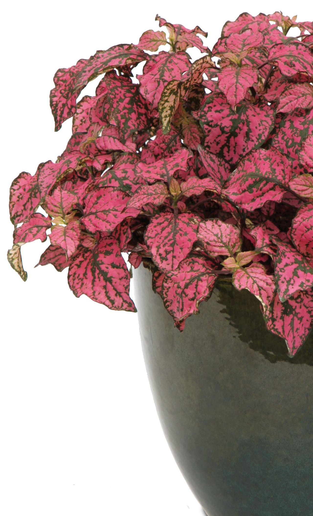 Hippo® Rose Polka Dot Plant Hypoestes phyllostachya