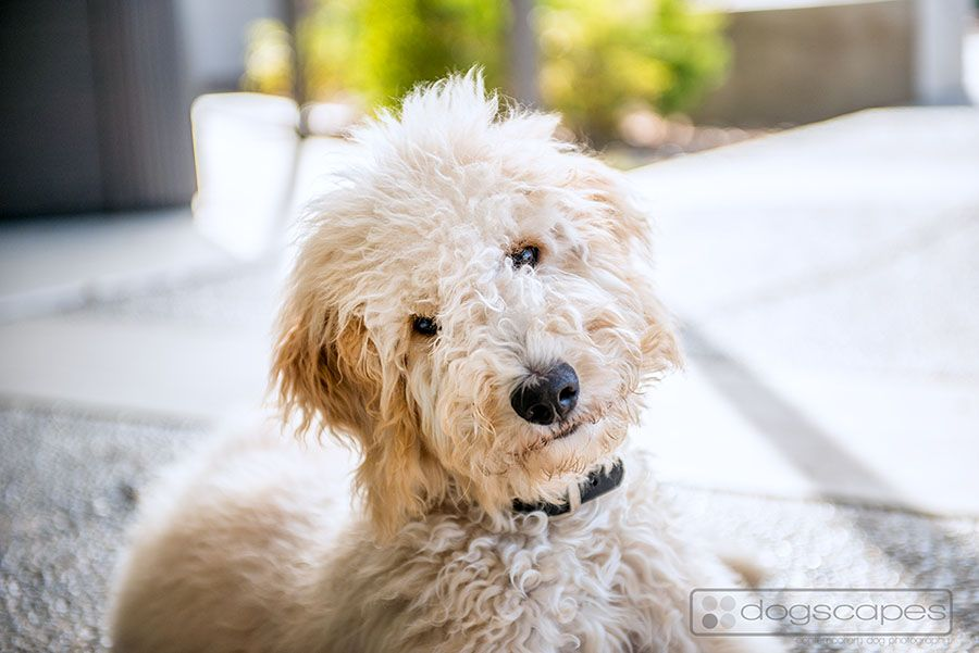 The Classic Doggy Head Tilt Goldendoodle Goldendoodles Dog