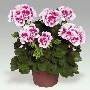 Уход за геранью (пеларгония)- Комнатные растения 88