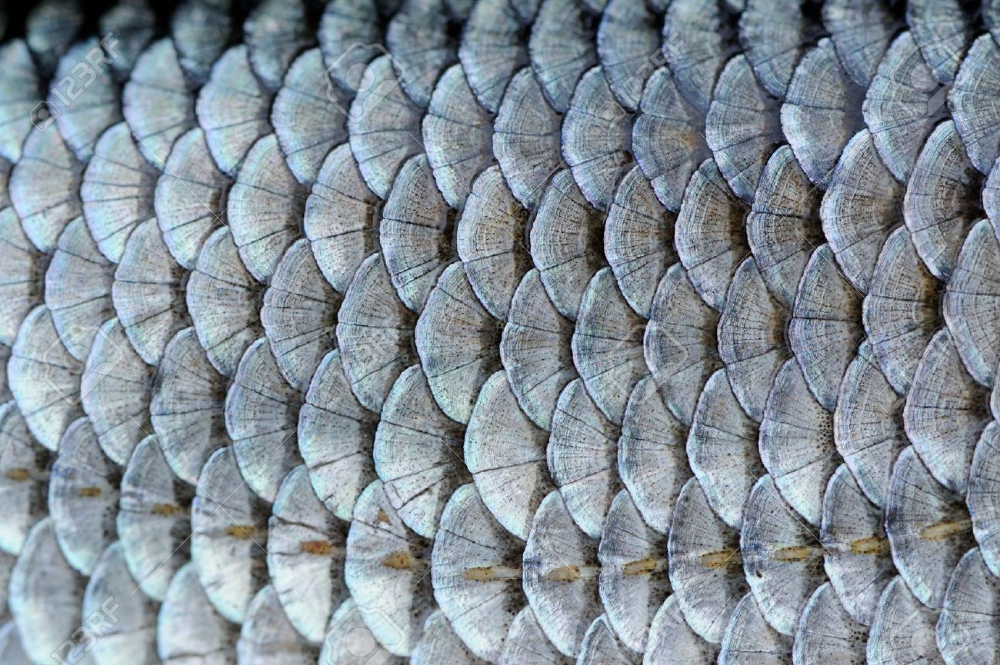 Real Roach Fish Scales Background Stock Photo Picture And Royalty Free Image Image 19968857 Fish Scales Fish Scale Pattern Fish Scale Tattoo