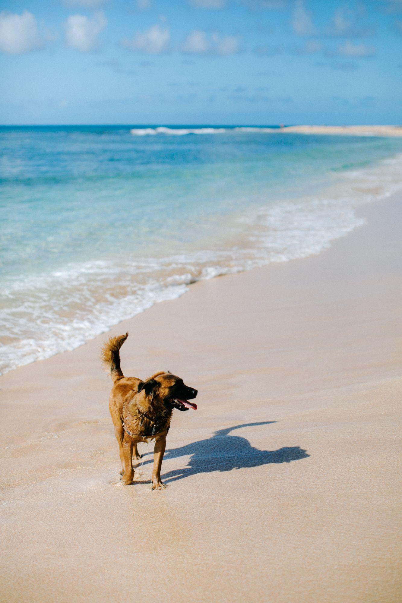 Happy beach puppy north shore oahu hawaii travel