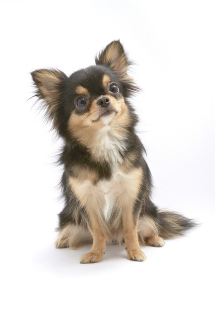 Black And Tan Cream Long Coated Chihuahua Isolated Over White Background Chihuahua Puppies Chihuahua Cute Chihuahua