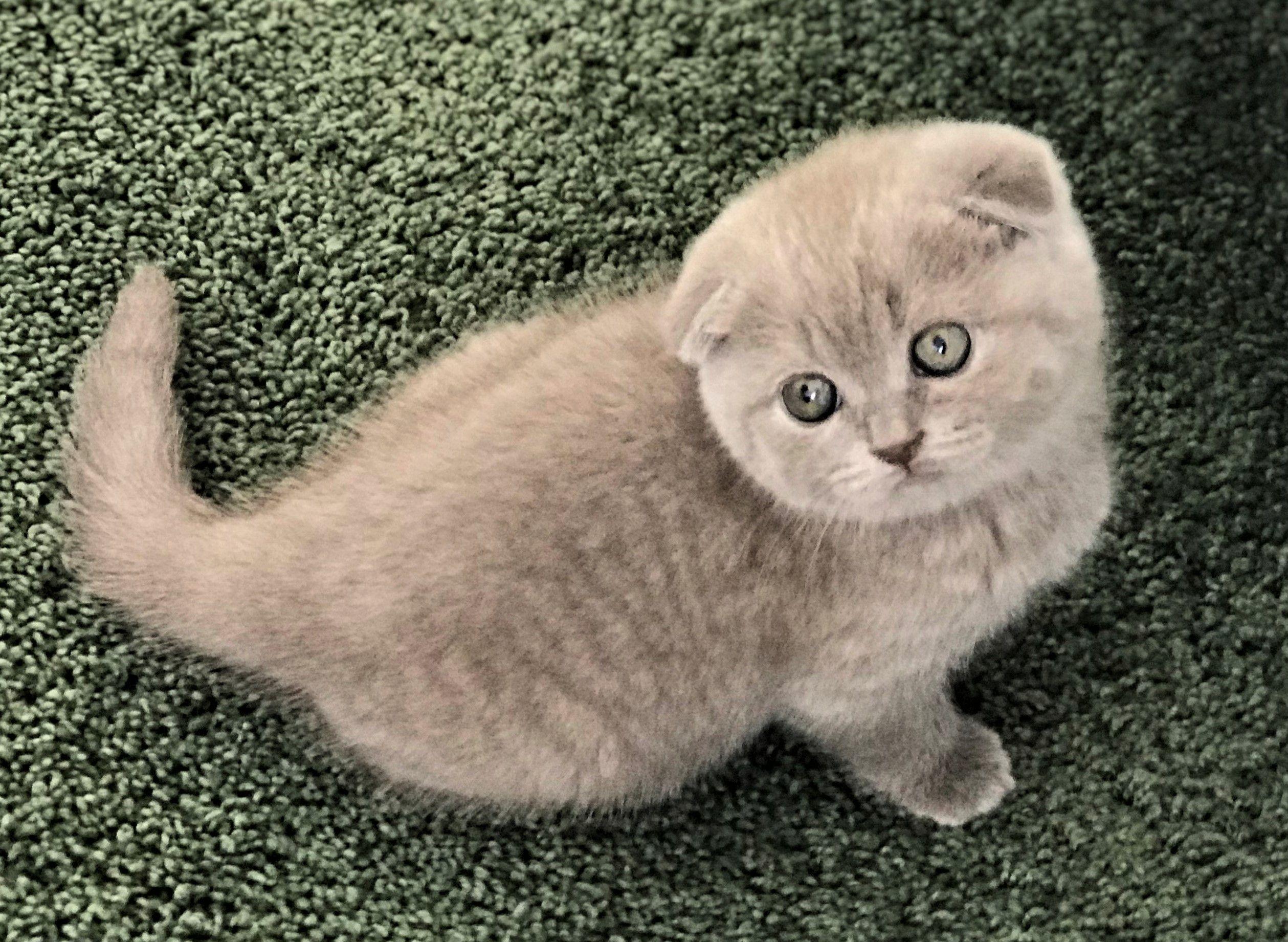 Scottish Fold Shorthair Female Kitten 1800 Scottish Fold