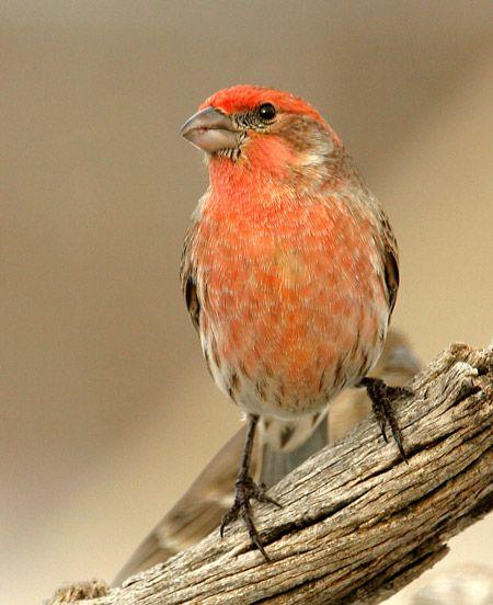 House Finch Male Orange House Finch Bird Watching