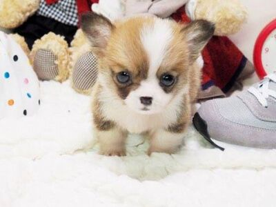 All Puppies For Sale Posh Pocket Pups Corgi Puppies For Sale Micro Teacup Puppies Designer Dogs
